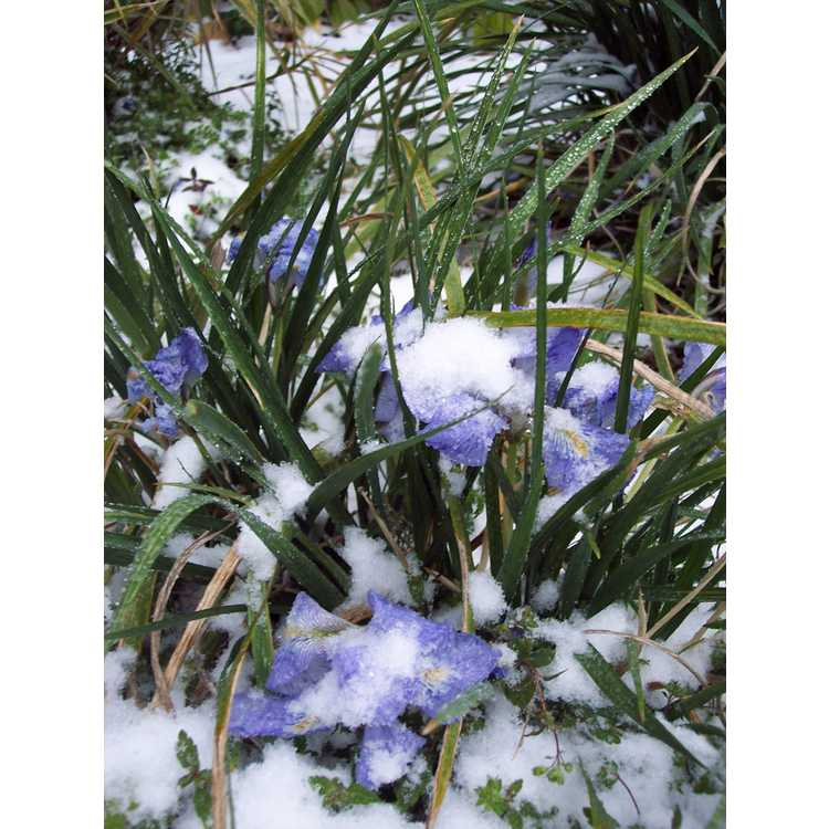 Iris unguicularis in snow
