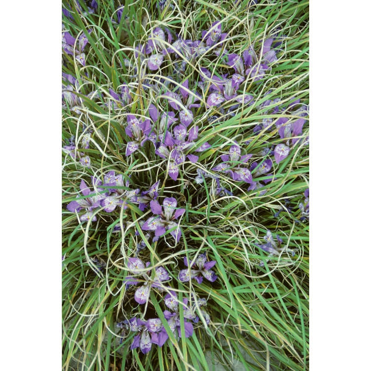 Iris unguicularis mass planting