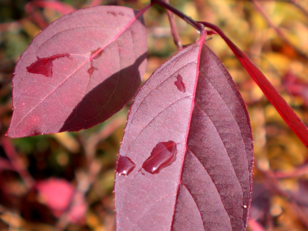 Itea virginica 'Henry's Garnet' red leaves in late fall