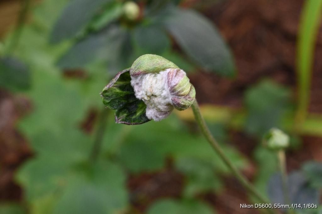 Eriocapitella x hybrida
