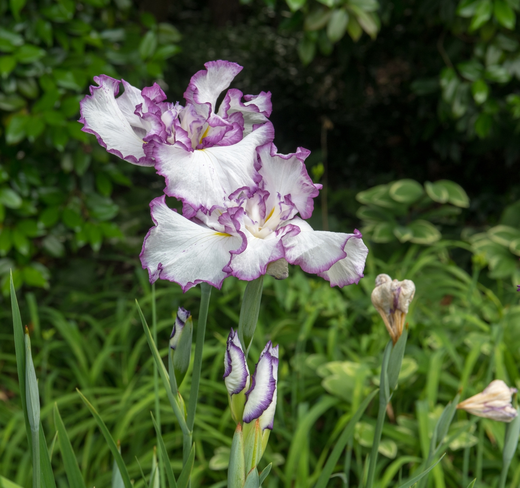 Japanese white and blue Iris