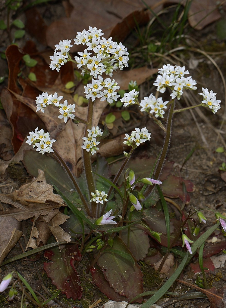 Saxifraga virginiensis