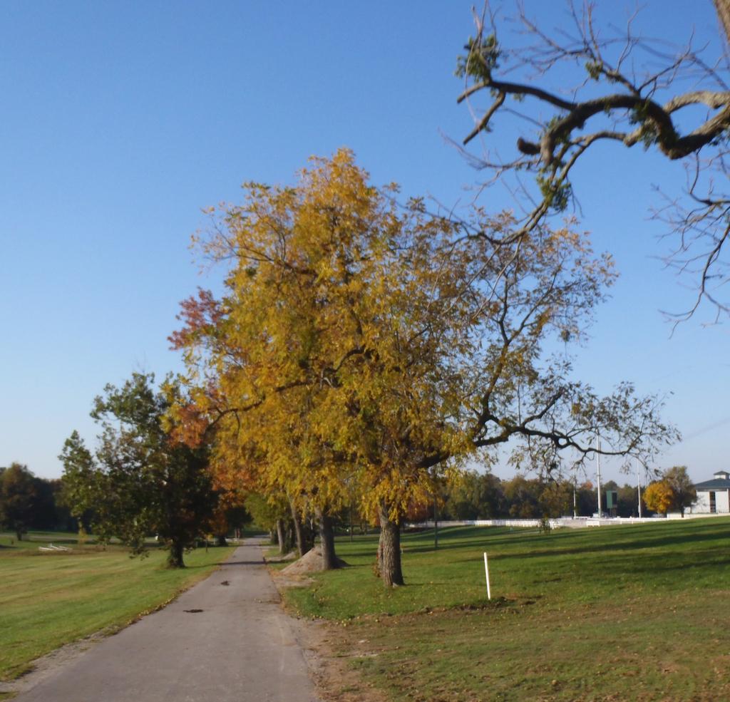 Juglans nigra Fall Color Form
