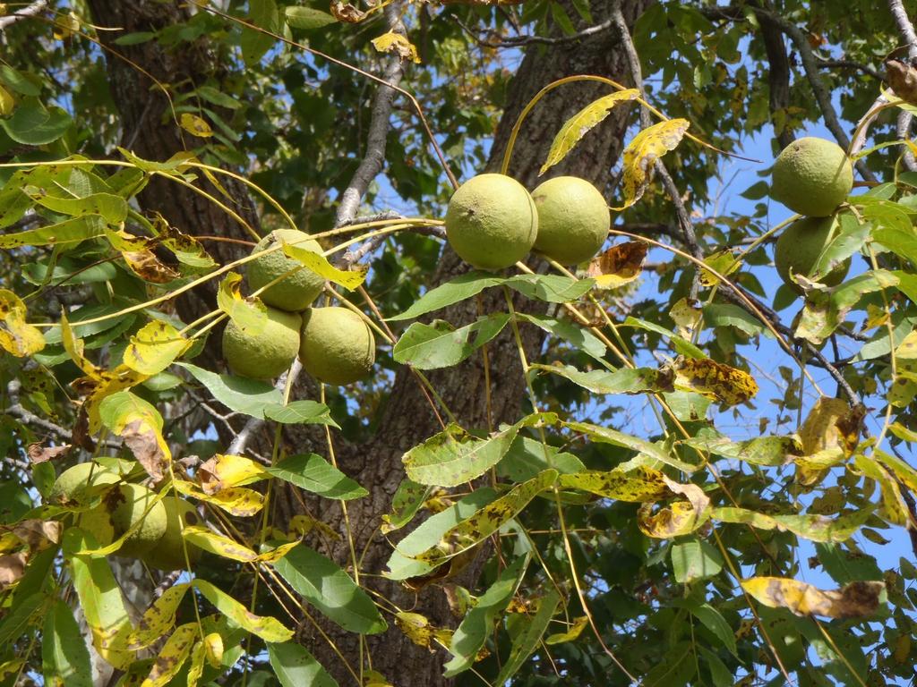 Juglans nigra Fruit and Leaf