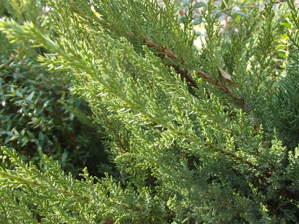 Juniperus chinensis'San-Jose'