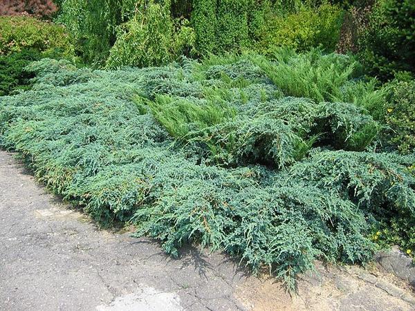 Juniperus × pfitzeriana