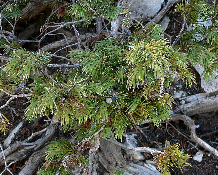 Juniperus comunis var. depressa