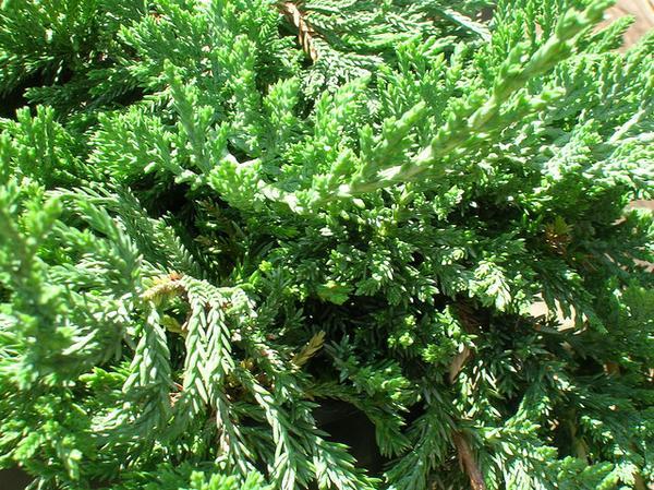 Juniperus horizontalis 'Blue Rug'
