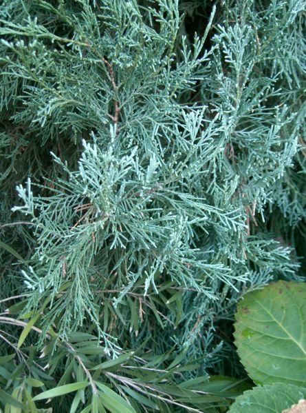 Juniperus scopulorum 'Blue Heaven'
