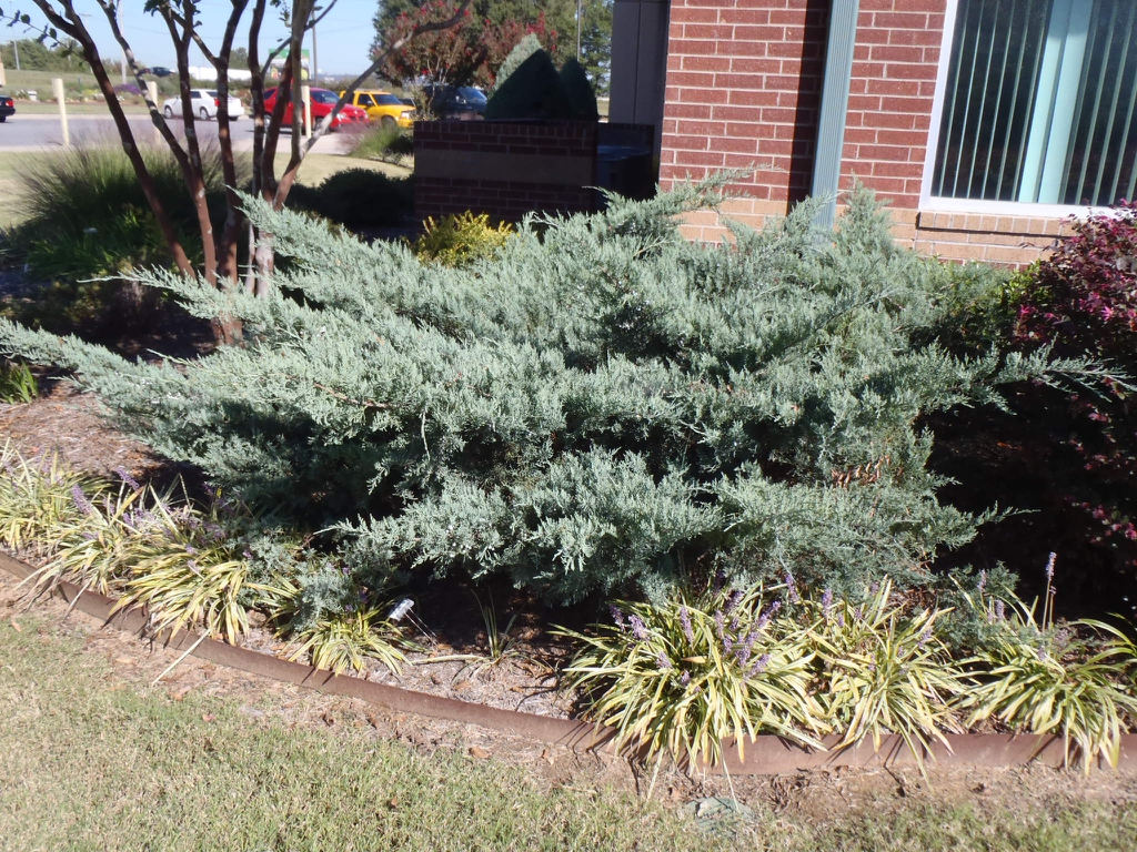 Juniperus virginiana 'Grey Owl' Form