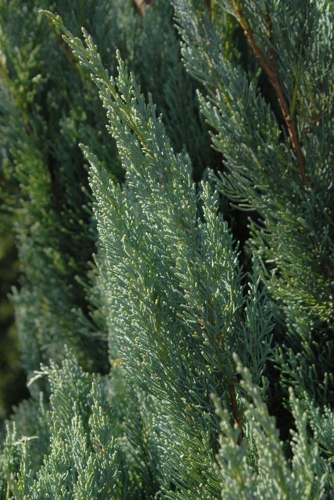 Juniperus virginiana