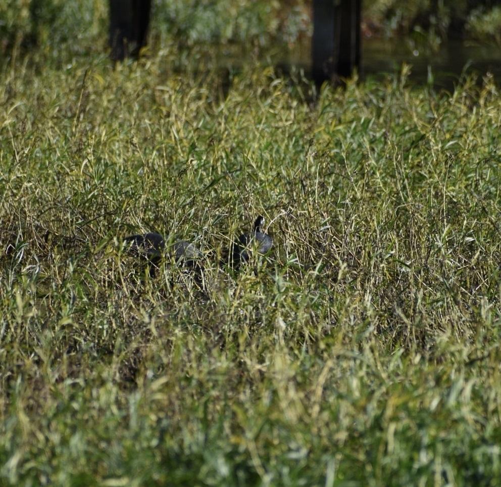 Dianthera americana