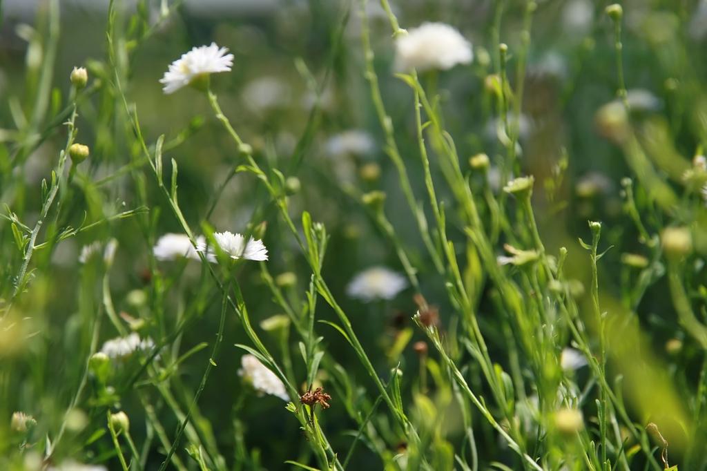Aster pinnatifida 'Hortensis' stem leaves
