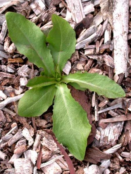 Lactuca spp.