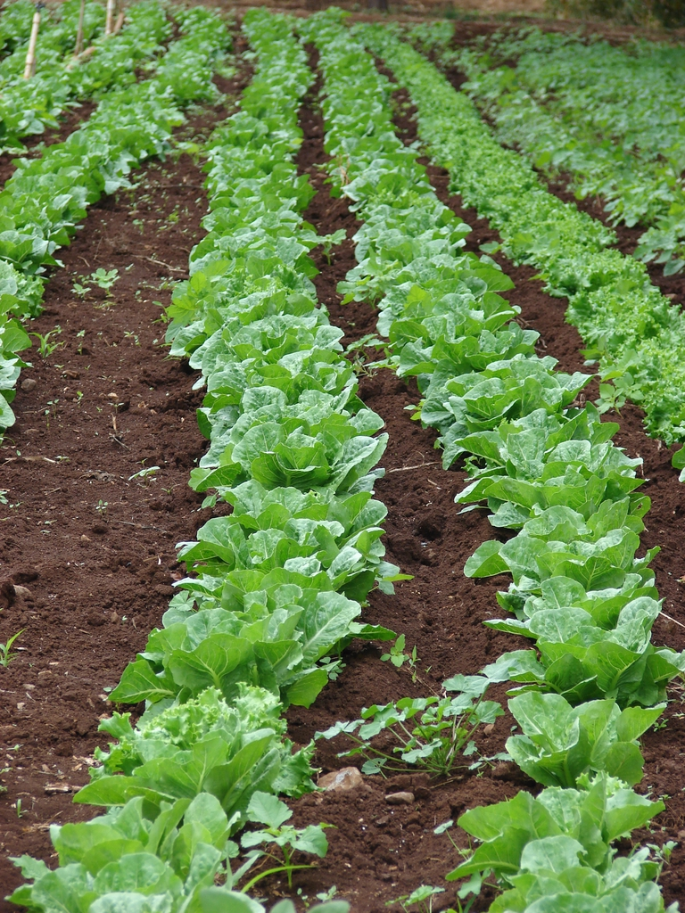 rows of lettuces