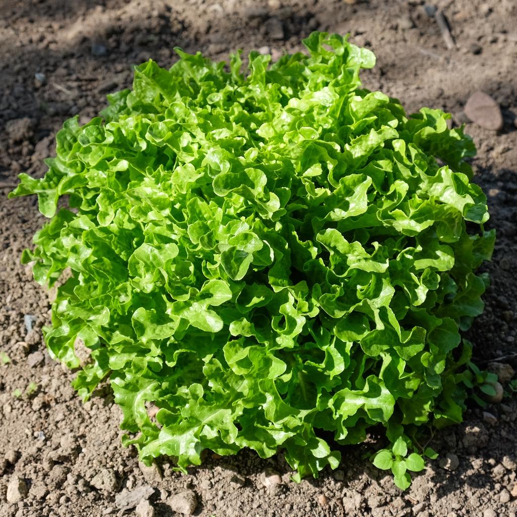 Lactuca sativa 'Ashbrook' form