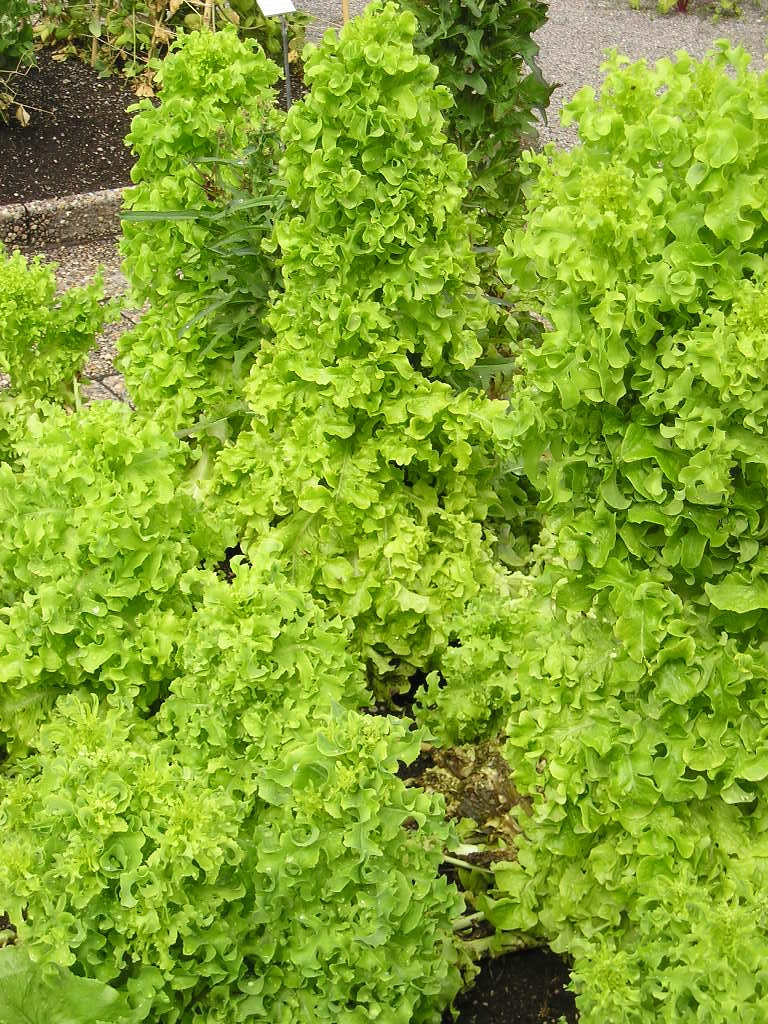 Lactuca sativa var. crispa 'Salad Bowl'