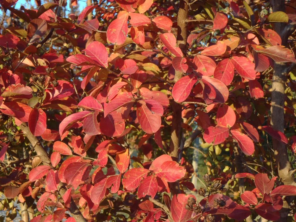 Lagerstroemia indica 'Catawba' Fall color Leaf