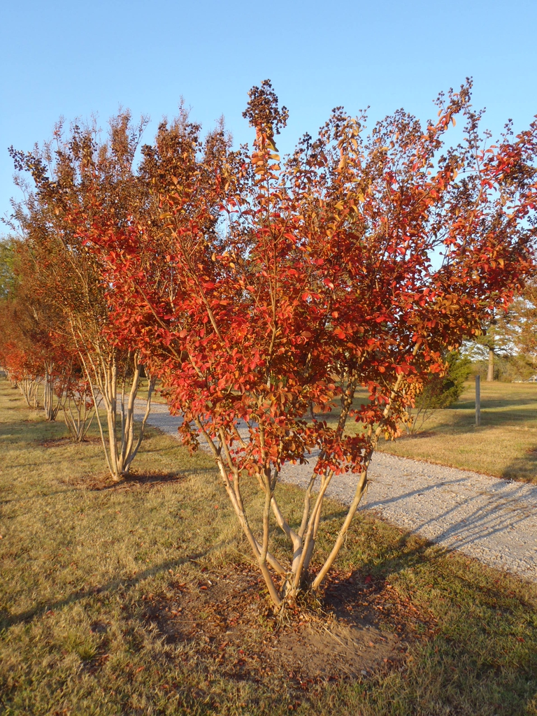 Lagerstroemia indica 'Catawba' Fall Color Form