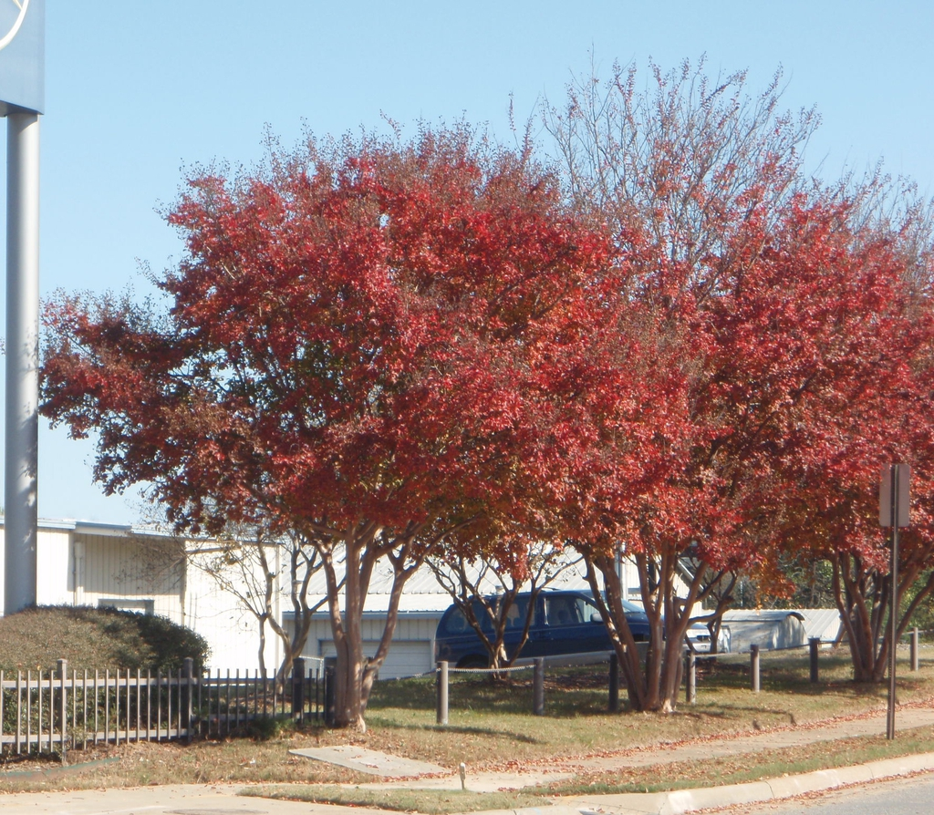 Fall Color Tree