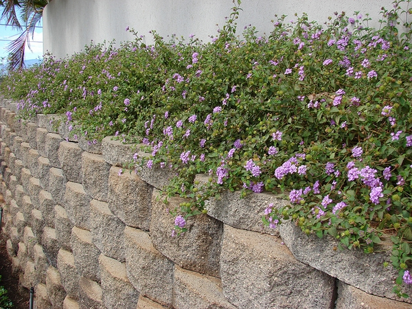 Lantana montevidensis