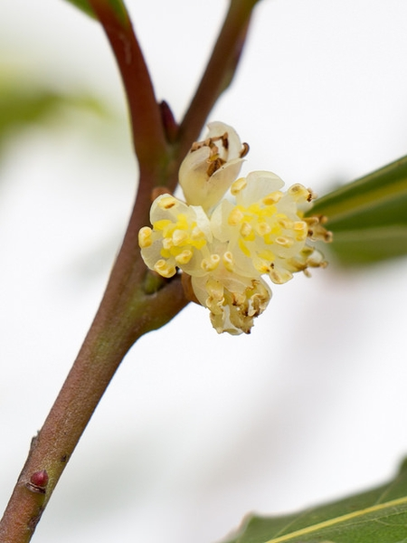 Flowers of Laurus nobilis