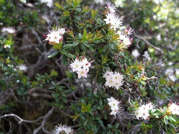 Leiophyllum buxifolium
