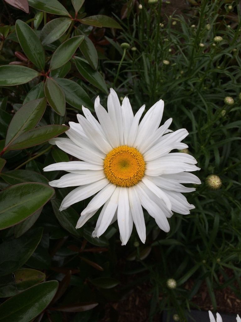 'Alaska', flower, spring, Durham County, NC