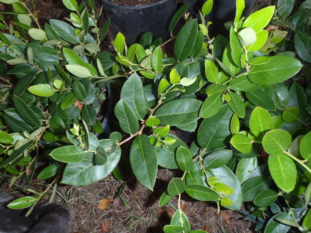 'Jenkins' Leaf