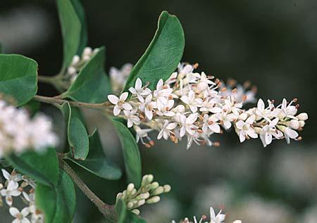 Ligustrum japonicum flower, close-up