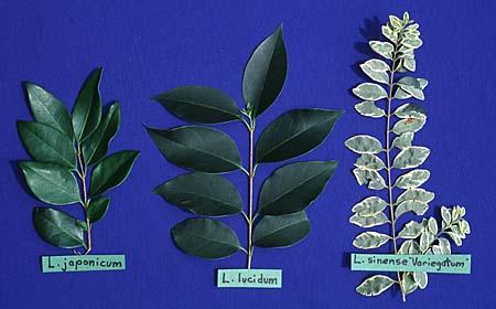 Comparison of Ligustrum leaves