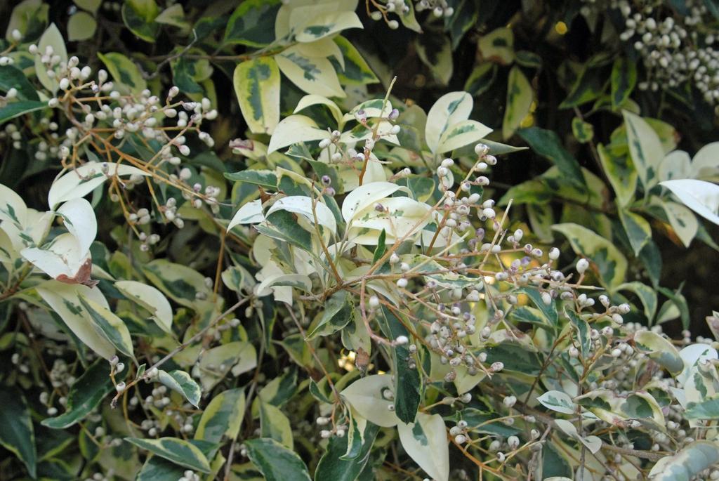Ligustrum lucidum 'Excelsum Superbum' Leaf and Fruit