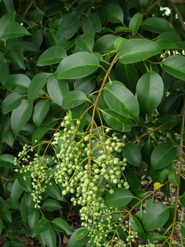 Unripe fruits
