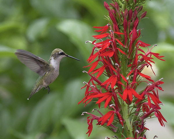 Humming bird visiting flowers