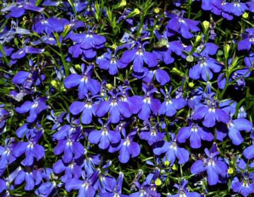 many purple flowers