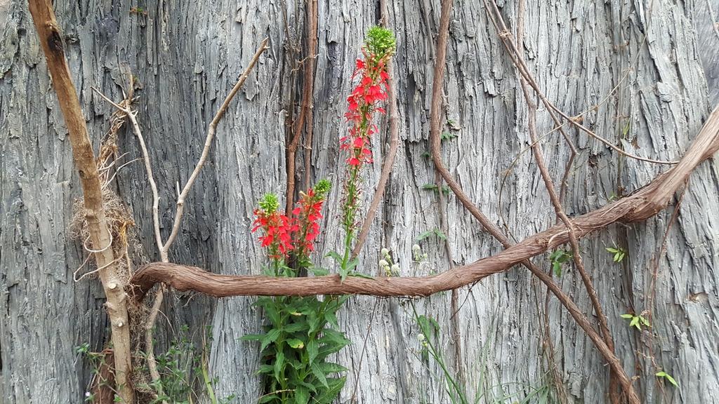 Cardinal Flower horizontal
