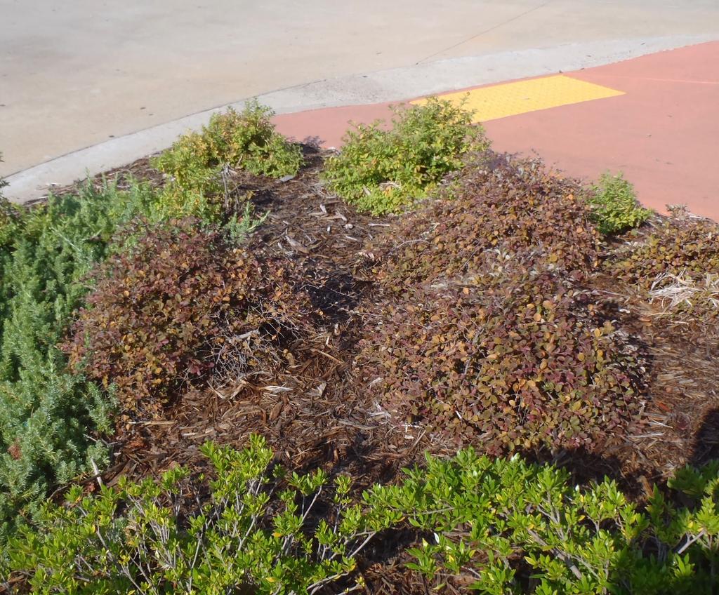 Loropetalum chinensis