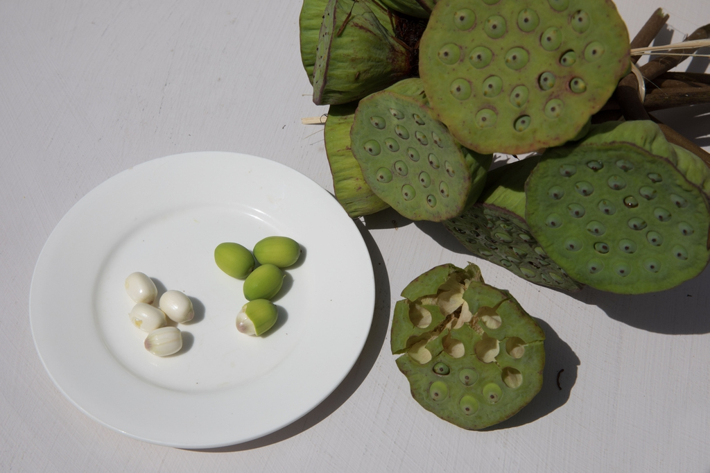 Lotus_fruit_seeds