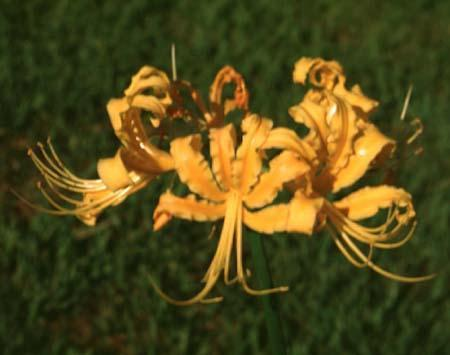 Lycoris aurea (L. africana)