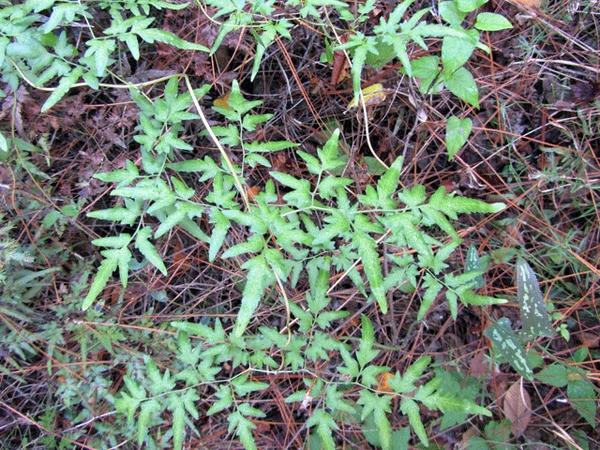 Lygodium japonica