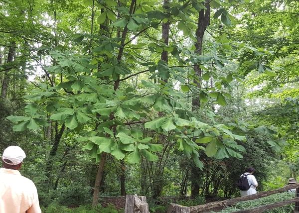 Magnolia macrophylla
