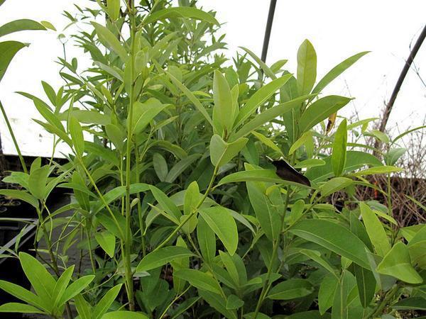 Magnolia virginiana v australis 'Henry Hicks'