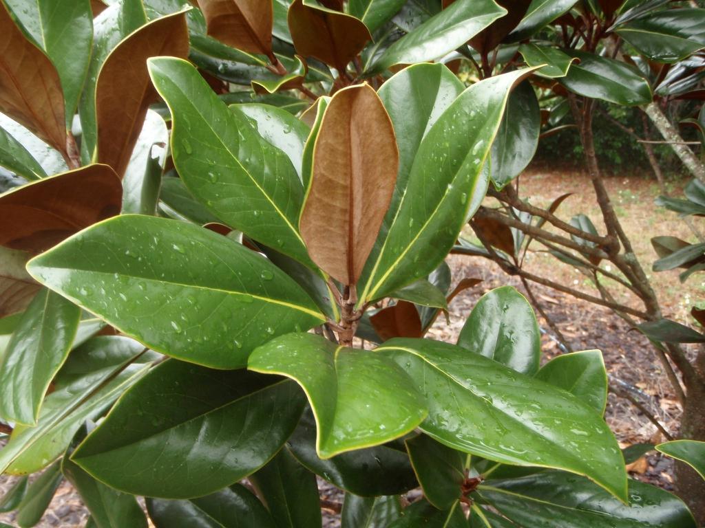 'Blanchard' Leaf