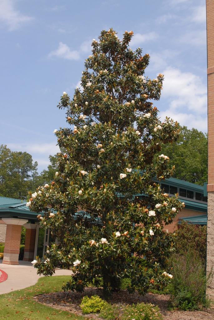 Magnolia grandiflora 'Little Gem' Form