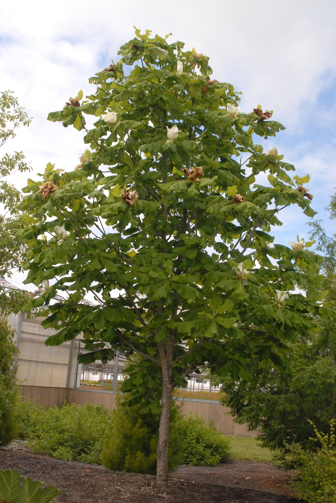 Magnolia macrophylla Form