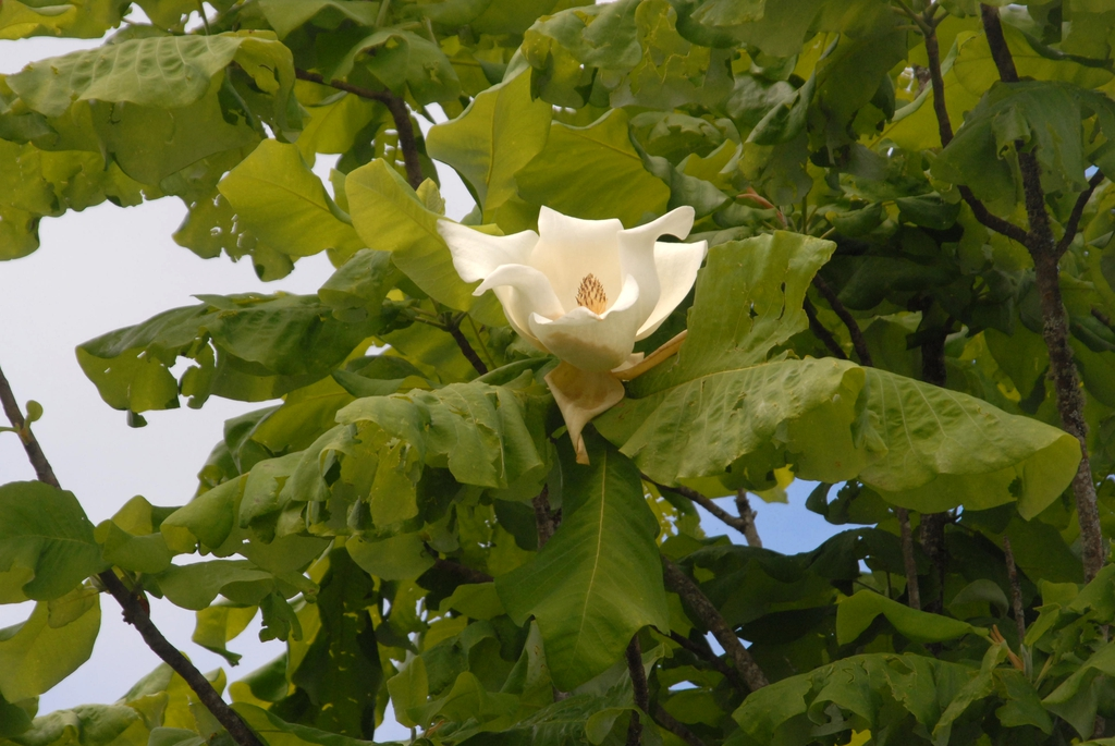 Magnolia macrophylla  Flower and Leaf