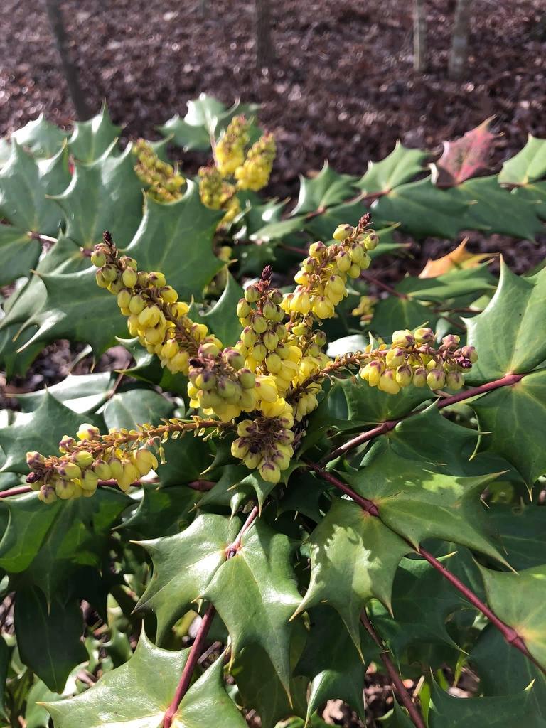Berberis x hortensis