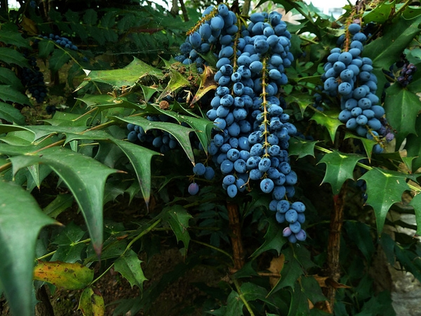 Mahonia x media close up of fruit
