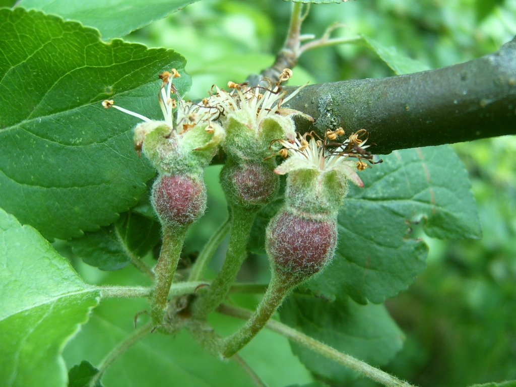 Immature fruit