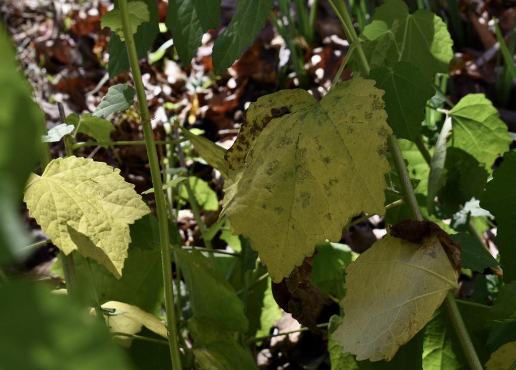 Malvaviscus arboreus var. drummondii
